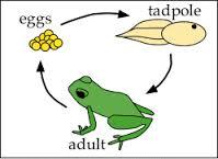 Frog Metamorphosis in Hindi