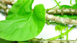 Benefits of Giloy in Hindi गिलोय के लाभ