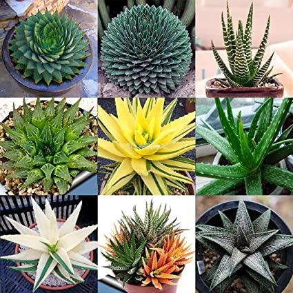 Types of Aloe Vera Plants in Hindi